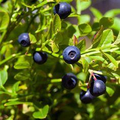 5 Bilberry plants Vaccinium European Blueberry permaculture medicinal fruit bush