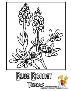 texas state flower coloring page bluebonnet