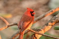 Cardinal Red by Charles Landis - Photo 194567747 / 500px