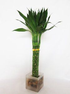- Live 14 Twist Braid Unique Lucky Bamboo Plant Arrangement w/ Glass Vase Pebble (bestseller) Indoor Bamboo Plant, Lucky Bamboo Plants, Indoor Plants, Growing Plants Indoors, Unique Plants, Bonsai Plants, Twist Braids, Tropical Plants, Plant Decor
