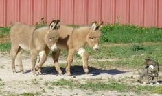 Donkey Care; They need a companion! Usually another donkey, but can be a friendly large goat, a horse, or mule.