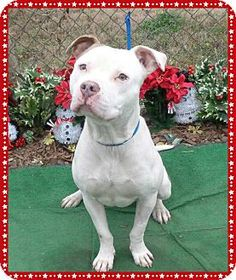 Marietta, GA - American Pit Bull Terrier Mix. Meet REECE, a dog for adoption. http://www.adoptapet.com/pet/12069456-marietta-georgia-american-pit-bull-terrier-mix