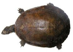 Emydura macquarii - Wikipedia Australia Animals, Turtle, Cars, Australian Animals, Turtles, Tortoise