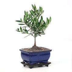 Miniature Little Ollie Olive Bonsai
