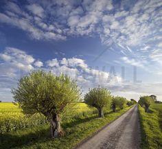 Willow in Skåne, Sweden - Fototapeten & Tapeten - Photowall