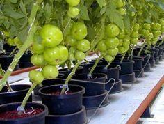 Данная агротехнология получения щедрого урожая помидор в домашней теплице основана на выращивании одного кустика томатов, который питается от двух корневых систем. В начале марта высевают семена в к…