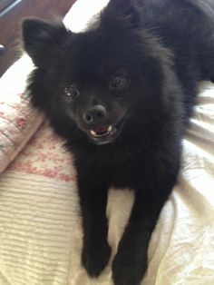 Black pomeranian. Happy dog face