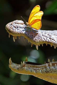 Caiman with a butterfly on its snout.  Wow!