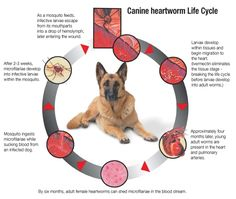 My dog has heartworms but...?