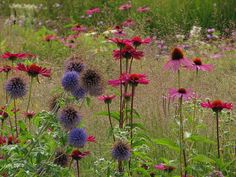 Echinacea and Echinops - I need to add Globe Thistle to the meadow