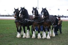 Shire Horse, Draft Horses, Animals, Country Living, Life, Country Life, Animales, Animaux, Animal