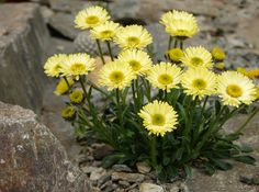 Erigeron aureus ´Canary Bird´ Rock Flowers, Yellow Flowers, Wild Flowers, Alpine Garden, Alpine Plants, Amazing Flowers, Beautiful Flowers, Rockery Garden, Rock Plants
