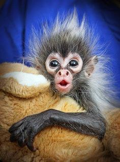 Pydment Marmoset, Tiny Baby Monkey, South America | Birds and Animals Collection