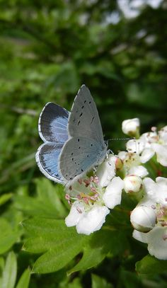 Summer Azure (Celastrina neglecta)--They are some of the smallest butterflies in North America. As caterpillars, they have a symbiotic relationship with ants. While the caterpillars supply the ants with a sweet sugary substance from their abdomens, the ants protect the caterpillars from possible predators. The end time|ucg.org