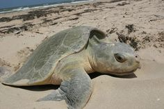 Meet the world's most endangered sea turtle: The Kemp's Ridley Sea Turtle Lepidochelys kempii. These turtles are listed as Critically Endangered, mainly because of the harvest of their eggs over the past century. Even though these incredible ocean animals are now protected on the beaches they visit to nest, and fishermen are taking measures to limit the bycatch of these turtles in fishing gears, Kemp's Ridley sea turtles have not yet recovered.