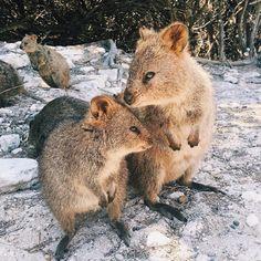 Things that make you go AWW! Happy Animals, Cute Funny Animals, Animals And Pets, Cute Cats, Cute Creatures, Beautiful Creatures, Animals Beautiful, Quokka Animal, Australia Animals