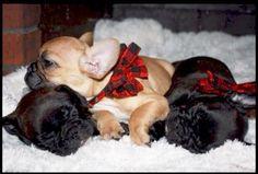French Bulldog Puppies❤