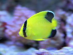 Forme juvénile d'Apolemichthys armitagei en aquarium