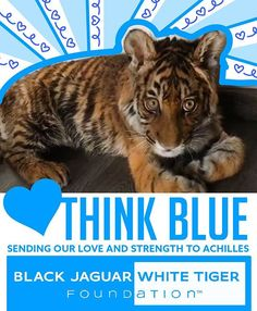 THINK BLUE  ACHILLES  @blackjaguarwhitetiger Sending all my love and strength to the most precious baby Achilles today! I hope the tomography goes well, and tomorrow is a better day full of healing and rest. Thank you #PapaBear for your incredible love and care to #AchillesBJWT  #blackjaguarwhitetiger #SaveTigers #ItsAllForLove #thinkblue #motherearth #behuman