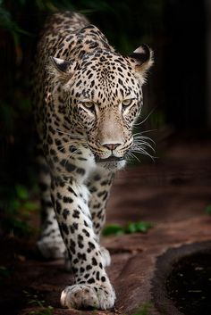 The Near Threatened Persian Leopard (Panthera pardus saxicolor) is found in Turkmenistan, northern Iran, and the Caucasus.  -kc