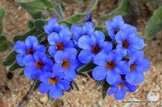 L'alcanna tinctoria – sui siti francesi la trovate più facilmente come Orcanette Dyers o semplicemente Orcanette – è una pianta della famiglia delle Boraginaceae che produce piccoli fio…