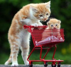 The 50 Cutest Things That Ever Happened: Kitty pushing mini kitten in a shopping cart. CUTE.