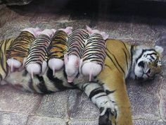 Tiger Adopts Little pigs