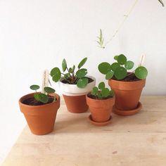 Stekjes van de pannenkoekenplant / pilea peperomioides via Het Plantenkabinet