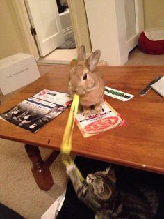 Bunny Keeps Kitty Occupied