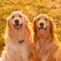 Golden Retrievers