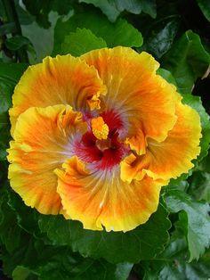 Hibiscus 'Firey Furnace'