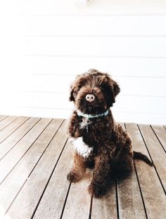 What a sweet little chocolate poodle! Cute Puppies, Cute Dogs, Dogs And Puppies, Doggies, Poodle Puppies, Animals And Pets, Baby Animals, Cute Animals, Cute Creatures
