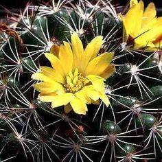 Mammillaria Var. grahamii, craigii, longimamma, micromeris, yaquensis:
