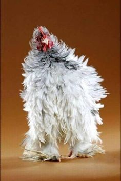 Chicken with white leg warmers