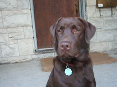 Chocolate lab ... looking very handsome