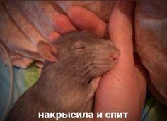 Hello Memes, Sweet Memes, Cute Love Memes, Rats, Jokes, Humor, Cool Stuff, Funny, Animals