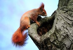 A red squirrel looks into a hole in a tree in the Frankfurt Main, Germany.