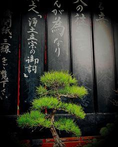 Bonsai near Daimon entry Zojoji temple Tokyo www.couchflyer.com
