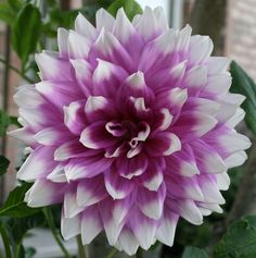 dinner plate dahlia- flowers bigger than my face Flower Pictures, Colorful Pictures, Pretty Pictures, Pretty Pics, Dahlia Flowers, Cut Flowers, Most Beautiful Gardens, Beautiful Flowers, Purple Dinner Plates