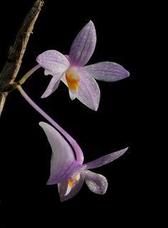 Dendrobium hasseltii - Flickr - Photo Sharing!