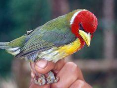 Scarlet-hooded Barbet, Eu-bucco tucinkae: BO/ PE/ BR. Ana Agreda