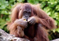 Save Nature Save Human: The Bornean Orangutan