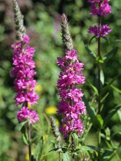 Flowers of the Purple Loosestrife, Taken in July in Devon, England