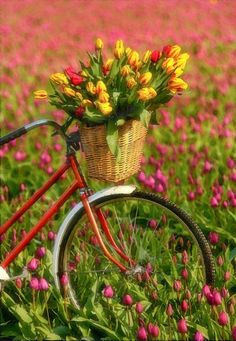 Upload your best active weather photos and videos or watch them in our new searchable gallery. Gardening Red Bike with a basket of tulips. Bicycle Basket, Old Bicycle, Bicycle Art, Bike Baskets, My Flower, Beautiful Flowers, Bike Planter, Spring, Bicycling