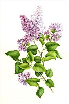 Lilac by Betsy Rogers-Knox - Original watercolor studies