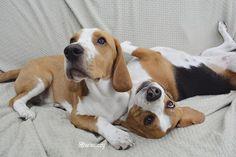 luv beagles