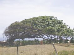 South Point tree