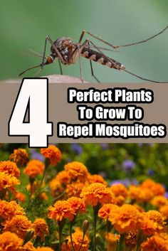 4 Perfect Plants To Grow To Repel Mosquitoes From Your Patio, Yard & Garden
