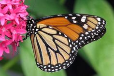 Monarch Butterfly Migration: One Beautiful Thing You Can Do to Help
