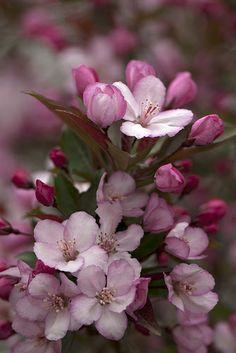 Malus 'Strawberry Parfait' - Flowering Crabapple